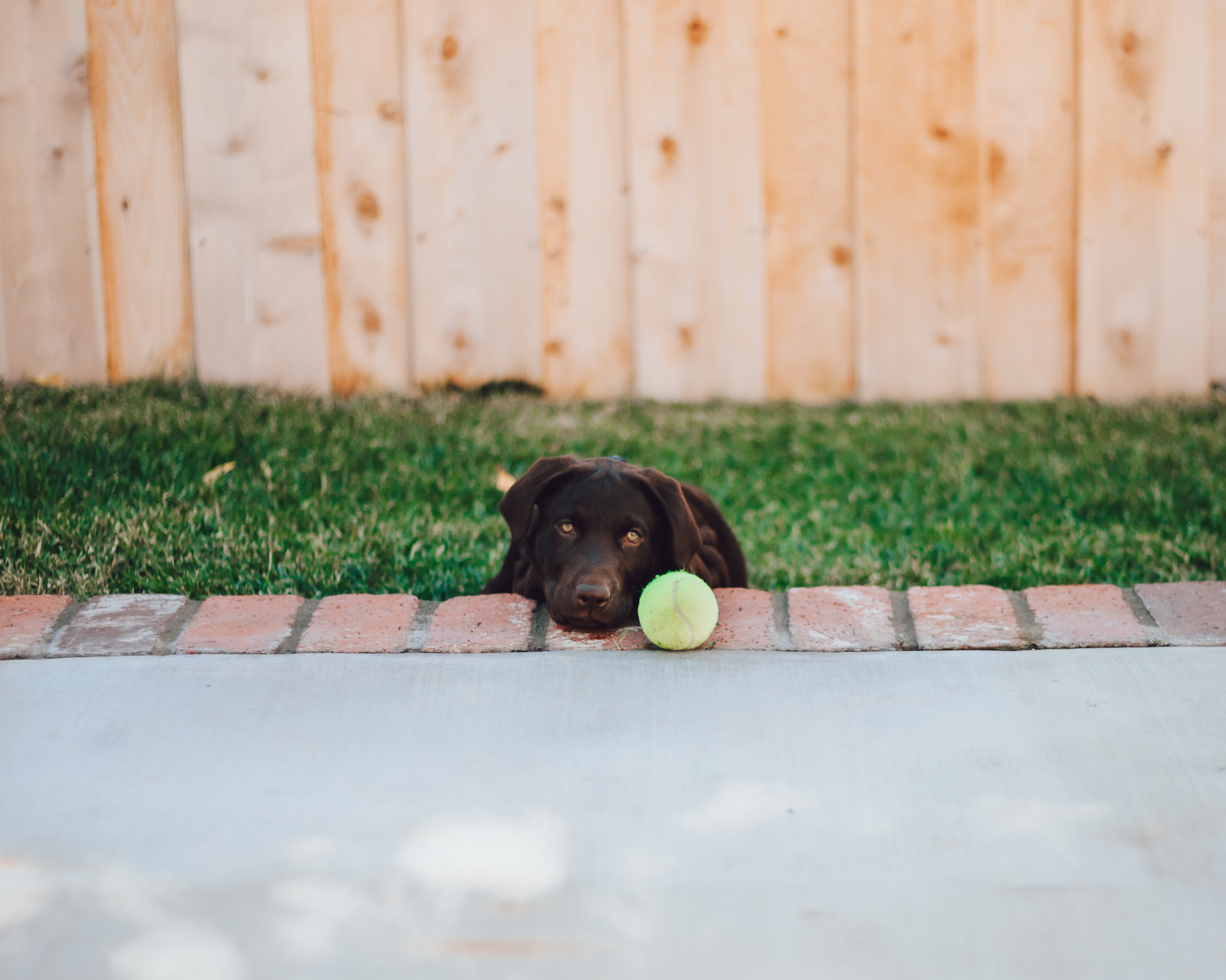 dog photos pet photos Labrador photos